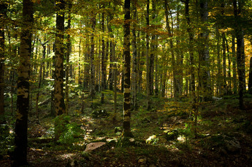 Virgin dense forest of beech trees in the autumn.