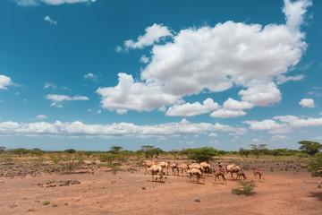 camela walking on the chalbi desert