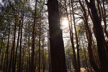 Bottom view of the sun through the pine trees in the dark forest.