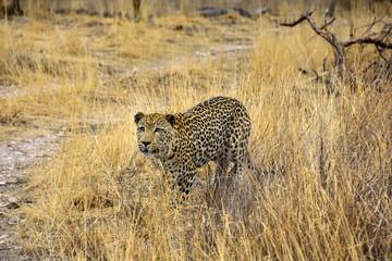 Leopard im Gras Namibia