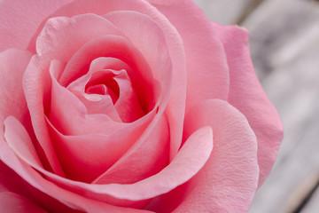 Pink rose, macro shot