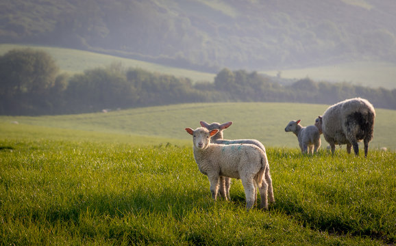 Spring lambs with early morning dew