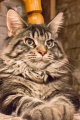 Long-haired tabby cat. Kitten breed Maine Coon. Cat large breed. Pedigree pet.