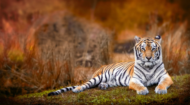Bengal tiger stare with orange background