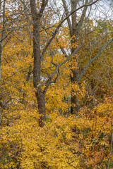 brilliant yellows of the autumn woods