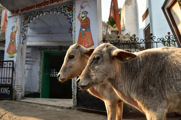 インドのラジャスタン州 ウダイプルの街並み 双子の子牛と寺院とマハラジャの壁画