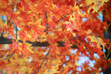 Beautiful red and orange autumn leaves for nature background.