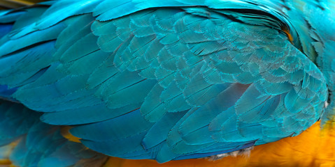 Foto auf Leinwand Texturen Closeup blue and gold macaw feather