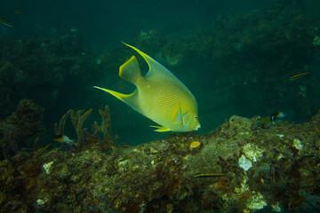 Blue Angelfish on reef off Fort Lauderdale