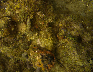 Scorpionfish well camouflaged on reef off Fort Lauderdale