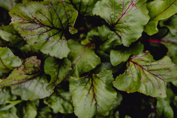 Aerial view of rhubarb in a garden