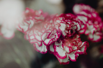 Closeup of pink and white carnations