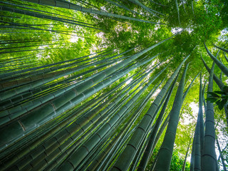 Amazing wide angle view of the Bamboo Forest in Kamakura