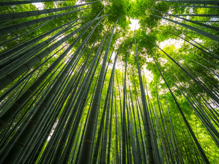 Spoed Foto op Canvas Bamboo Amazing wide angle view of the Bamboo Forest in Kamakura
