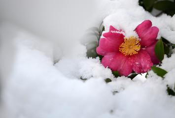 サザンカ 雪景色