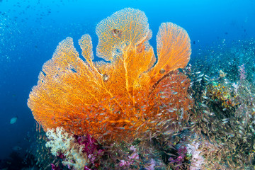 Wall Mural - Beautiful and colorful Seafan (Gorgonian Fan coral) on a tropical coral reef