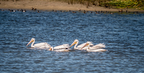 A small flock of white pelicans feeding on a lake in Baja California.