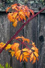 Blackberry Bush Leaves in Autumn