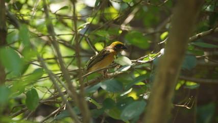 The stripe-throated bulbul, or streak-throated bulbul, is a species of songbird in the bulbul family of passerine birds