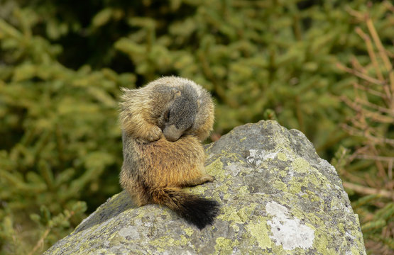 Groundhog on a rock cleaning his fur