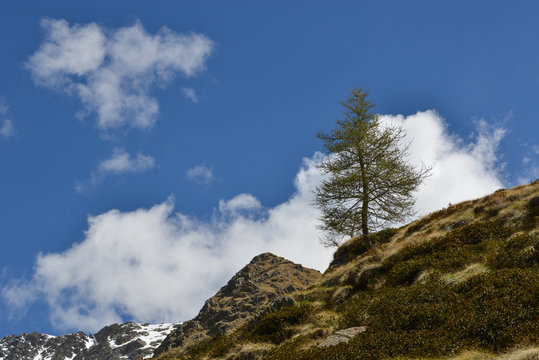 Larch on a Mountain under a blue sky with clouds