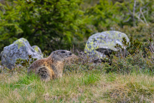 Groundhog with grass for the nest