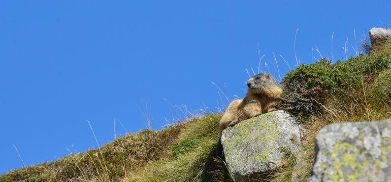 Groundhog resting on a rock