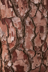 Pine tree bark texture and background, close up view of natural and organic pine bark pattern.