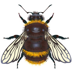 Vector bumblebee on a white background