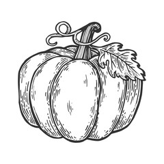 Pumpkin fruit engraving vector illustration. Scratch board style imitation. Black and white hand drawn image.