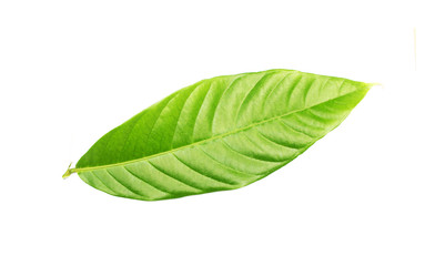 tropical green leaf on white background