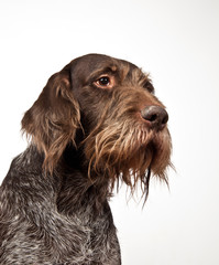 Dog breed Drathaar German Wirehaired pointer portrait on white background