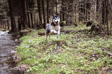 The Husky dog travels and plays in the woods, in the valleys, on the top of the mountain. Ukrainian Carpathian Mountains. Autumn is coming. Little puppy