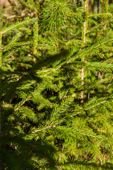 Fir branches in the forest