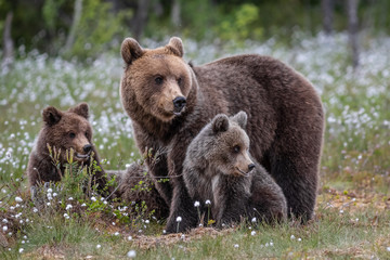 Brown bear mother with cubs / Ursus arctos
