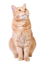 Foto op Plexiglas Kat Looking up cute red cat isolated on white background.