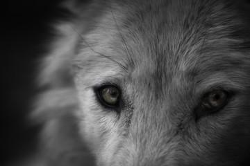 Photo sur Plexiglas Loup Dans les yeux du loup