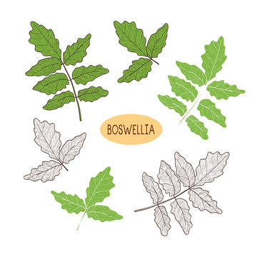 Boswellia. Plant. Branch, leaves. Sketch, silhouette. On white b