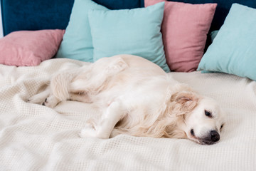 Happy dog lying on bed with pink and blue pillows