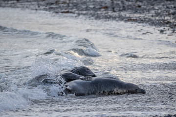 Grey Seal at the beach / Halichoerus grypus