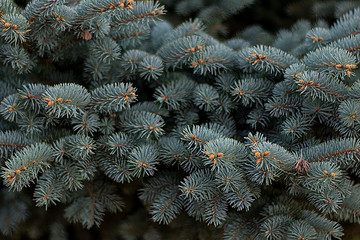 branches of blue canadian spruce as background