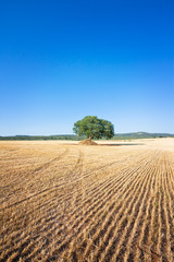 Martina Franca, Apulia - A single old tree remaining on a field after the harvest