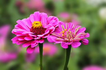 Two pink tsiniya graceful blend in the sunshine of a summer day. Zine flower graceful on an isolated green background