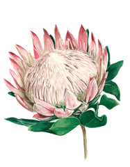 protea flower uncovered with green leaves, watercolor
