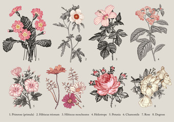 Botany. Set vintage medical realistic isolated flowers. Nature baroque. Drawing engraving. Vector background victorian Illustration Primrose primula Hibiscus Heliotrope Petunia Chamomile Rose Dogrose