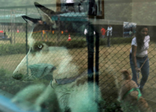 """""""Czar"""", a Siberian Husky breed, looks out of his window from his room at TopDog, a Luxury Pet Resort, in Gurugram"""