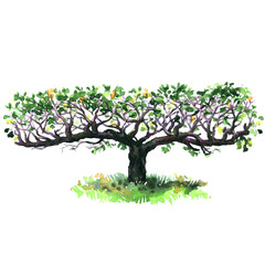 Espalier Apple tree isolated, decorative fruit trees, hand drawn watercolor illustration on white background