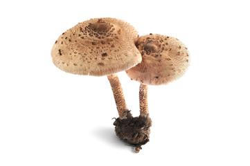 Parasol mushrooms at white isolated background
