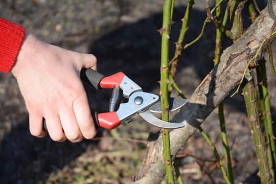 Gardener with garden pruning scissors pruning  roses.