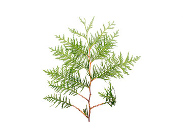 Sprig of xmas tree, thuja, fir
